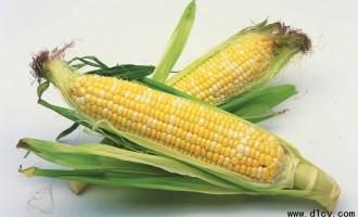 鲜食型秋玉米的栽培技法