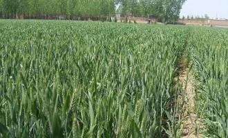 小麦规范化播种技术