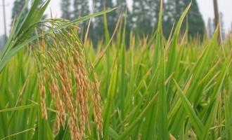 水稻精确定量栽培技术
