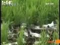 曼地亚红豆杉种植技术 (262播放)