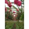 景观花木紫薇价格,木瓜海棠价格,海桐价格,贴梗海棠价格表