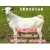 供山东白山羊养殖场白山羊繁育基地白山羊供求价格