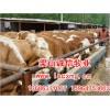 供肉牛、西门塔尔牛、鲁西黄牛、夏洛莱牛犊