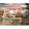 供商品牛出栏价格架子牛价格信息山东肉牛繁育场