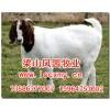 山东波尔山羊价格/波尔山羊养殖合作社/波尔山羊哪家好