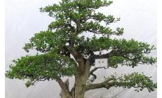 瓜子黄杨盆景的制作和养护