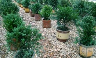 红豆杉容器育苗技术