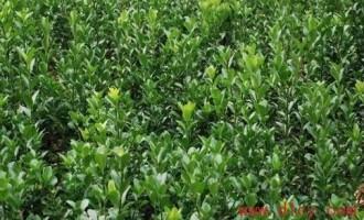 大叶黄杨主要病虫害及防治办法