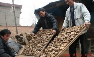 香菇采收后的加工