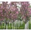 景观苗木售价日本樱花价格,潢川红叶小檗价格,紫叶矮樱价格表