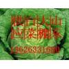 13626331680山东大白菜价价格山东大白菜种植供应基地