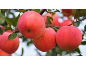 苹果 (5)