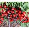 钙果苗价格、钙果苗批发、山西钙果苗种植基地