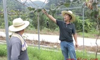 福建三明市局果树专家到明溪指导猕猴桃生产