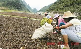 广西乐业县甘田镇:大红八角又丰收