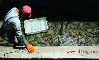 山东青岛蟹个大肉肥价格平民化 今年虾蟹开海捕捞