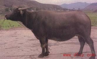 【涪陵水牛】资料:涪陵水牛图片以及品种特征