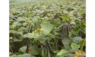 绿豆套种葵花地膜覆盖技术简介