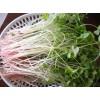新农村绿色蔬菜—荞麦苗