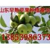 13853986373山东早熟藤木/辽伏苹果产地价格