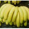全国最大香蕉种植基地 广东香蕉香蕉特销 雷州香蕉 香蕉代办
