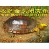 金头闭壳龟