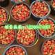 曲阜万亩草莓基地大量新鲜草莓等你来采摘