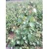 供应耐热白桦(夏威夷白桦)种苗
