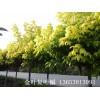 大量供应金叶复叶槭种苗