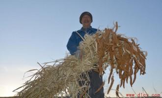 扎兰屯市谷子喜获丰收农户笑逐颜开