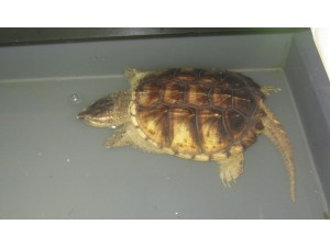 鳄鱼龟 (5)