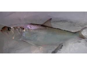 鲥鱼 (5)