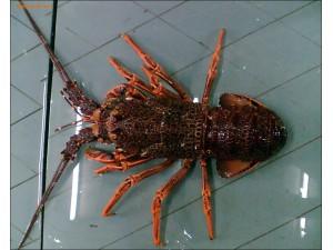 澳洲龙虾 (5)