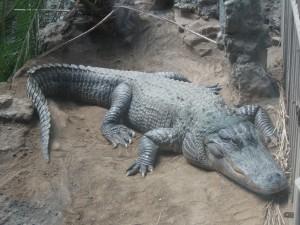 扬子鳄 (5)