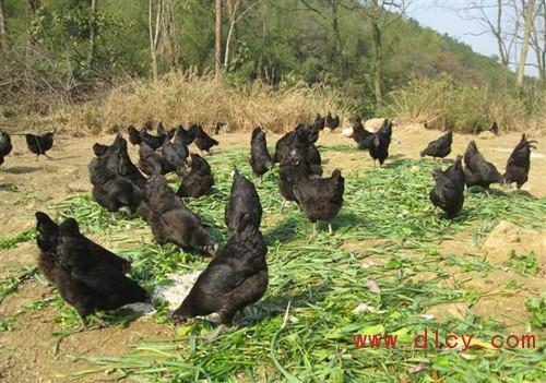 绿壳蛋鸡养殖