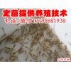 合江县叙永县台湾种鳅泥鳅苗,台湾泥鳅苗养殖技术