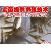 北川县旺苍县台湾种鳅泥鳅苗,台湾泥鳅苗养殖技术