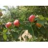 陕西丰园红杏丰原红杏价格