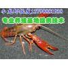 武义浦江淡水小龙虾养殖技术,淡水小龙虾养殖基地