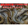 郴州衡南县泥鳅价格,泥鳅养殖技术
