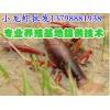 张掖景泰小龙虾仔养殖,新鲜小龙虾批发