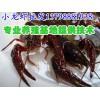敦煌甘谷小龙虾仔养殖,新鲜小龙虾批发