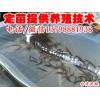 邛崃市/大量批发台湾泥鳅/纯种台湾泥鳅苗供应/自贡