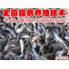 攀枝花  /大量批发台湾泥鳅/纯种台湾泥鳅苗供应/泸州