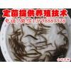 什邡市/大量批发台湾泥鳅/纯种台湾泥鳅苗供应/绵阳