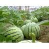 山东水果产地供应优质苹果西瓜价格便宜