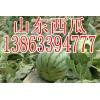 13863394777山东大棚西瓜市场价格