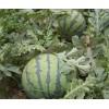 【西瓜供应】今日产地西瓜批发三毛一斤