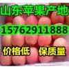 苹果降价【15762911888】山东美八嘎啦苹果黄金梨产地