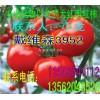 山东聊城西红柿大量上市